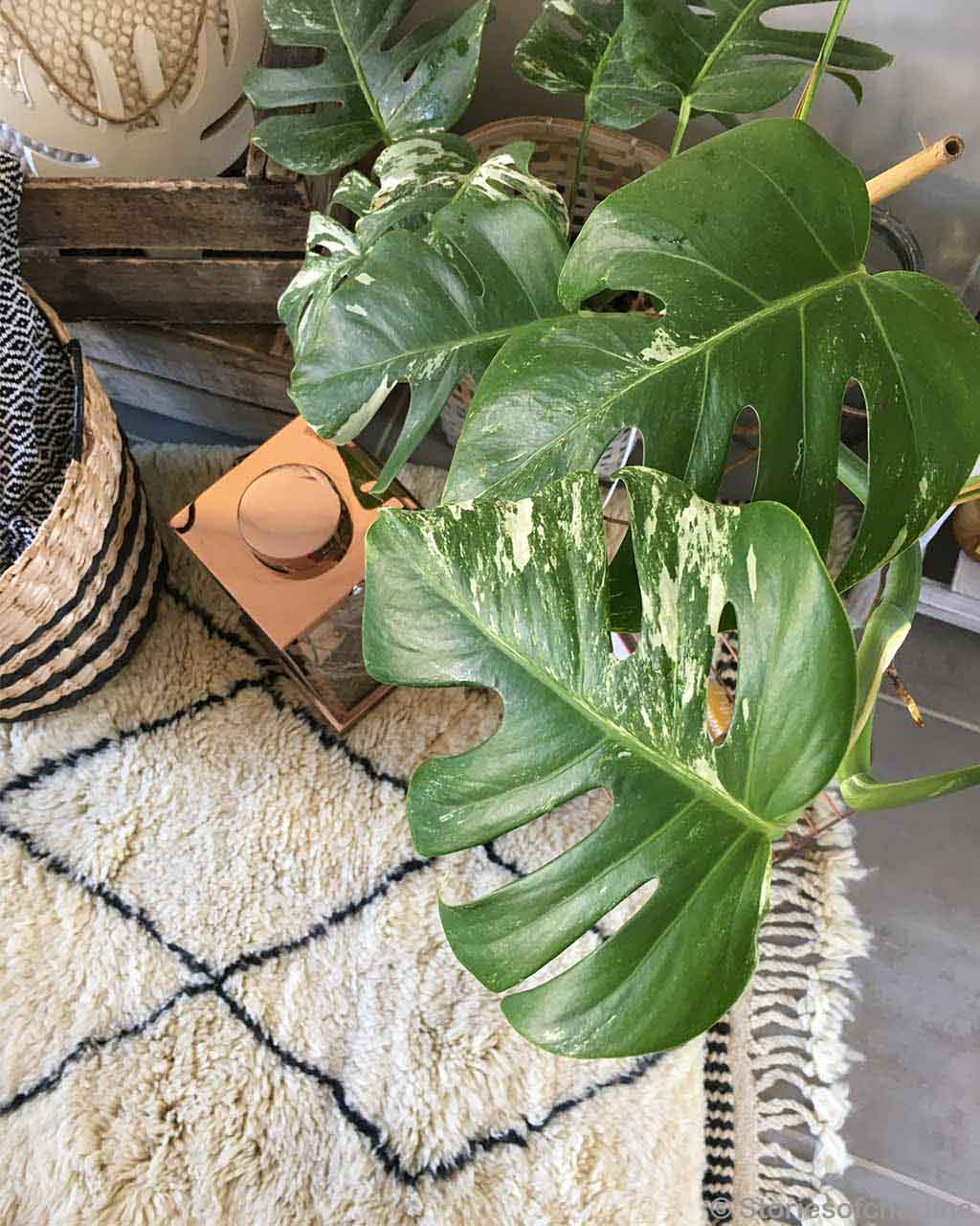 indoor plants with big leaves moroccan cream colored rugs
